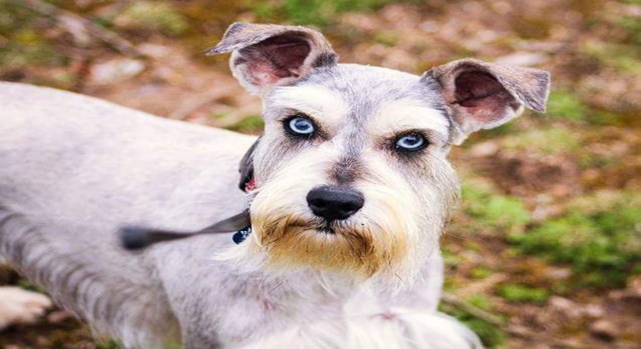 Titan Blue Eyes 2 Miniature Schnauzer Puppies For Sale By Bow Wow