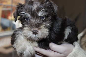 Available Puppies Bow Wow Schnauzer